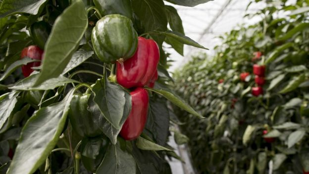 Peppers grow in a greenhouse operated by Monsanto's seeds division in Bergschenhoek, the Netherlands